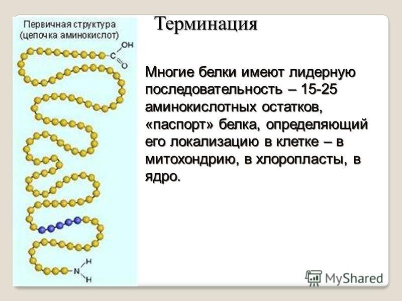 Многие белки имеют лидерную последовательность – 15-25 аминокислотных остатков, «паспорт» белка, определяющий его локализацию в клетке – в митохондрию, в хлоропласты, в ядро. Терминация