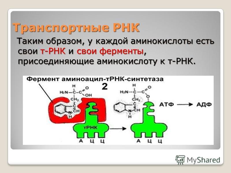 Транспортные РНК Таким образом, у каждой аминокислоты есть свои т-РНК и свои ферменты, присоединяющие аминокислоту к т-РНК. Таким образом, у каждой аминокислоты есть свои т-РНК и свои ферменты, присоединяющие аминокислоту к т-РНК.