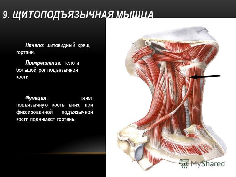 9. ЩИТОПОДЪЯЗЫЧНАЯ МЫШЦА Начало : щитовидный хрящ гортани. Прикрепление : тело и большой рог подъязычной кости. Функция : тянет подъязычную кость вниз, при фиксированной подъязычной кости поднимает гортань.