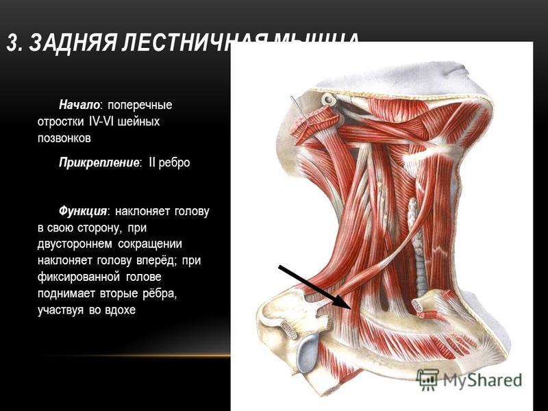 3. ЗАДНЯЯ ЛЕСТНИЧНАЯ МЫШЦА Начало : поперечные отростки IV-VI шейных позвонков Прикрепление : II ребро Функция : наклоняет голову в свою сторону, при двустороннем сокращении наклоняет голову вперёд; при фиксированной голове поднимает вторые рёбра, уч