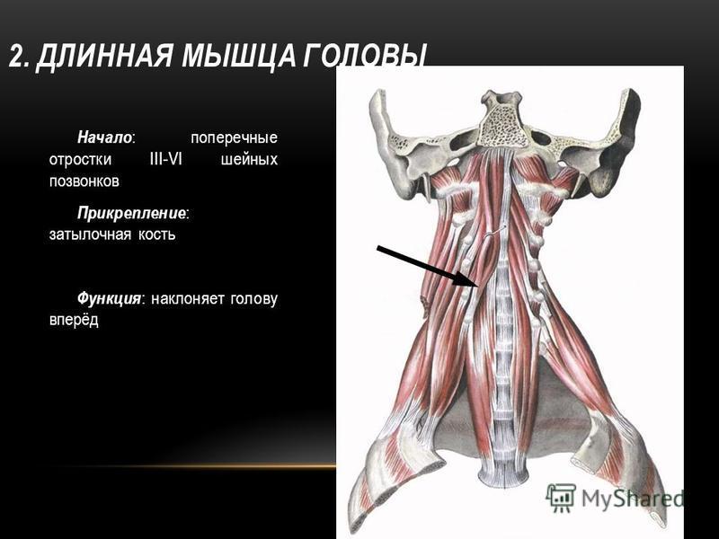 2. ДЛИННАЯ МЫШЦА ГОЛОВЫ Начало : поперечные отростки III-VI шейных позвонков Прикрепление : затылочная кость Функция : наклоняет голову вперёд