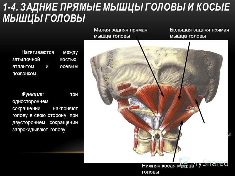1-4. ЗАДНИЕ ПРЯМЫЕ МЫШЦЫ ГОЛОВЫ И КОСЫЕ МЫШЦЫ ГОЛОВЫ Натягиваются между затылочной костью, атлантом и осевым позвонком. Функция : при одностороннем сокращении наклоняют голову в свою сторону, при двустороннем сокращении запрокидывают голову Нижняя ко
