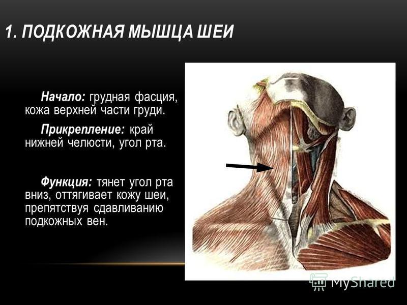 1. ПОДКОЖНАЯ МЫШЦА ШЕИ Начало: грудная фасция, кожа верхней части груди. Прикрепление: край нижней челюсти, угол рта. Функция: тянет угол рта вниз, оттягивает кожу шеи, препятствуя сдавливанию подкожных вен.