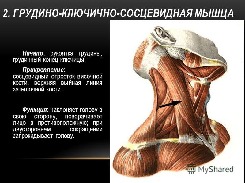 2. ГРУДИНО-КЛЮЧИЧНО-СОСЦЕВИДНАЯ МЫШЦА Начало : рукоятка грудины, грудинный конец ключицы. Прикрепление : сосцевидный отросток височной кости, верхняя выйная линия затылочной кости. Функция : наклоняет голову в свою сторону, поворачивает лицо в против