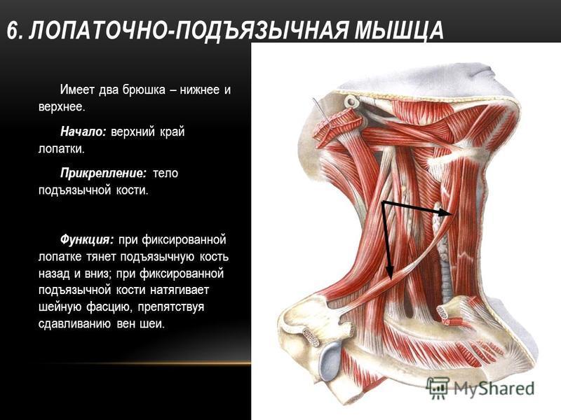 6. ЛОПАТОЧНО-ПОДЪЯЗЫЧНАЯ МЫШЦА Имеет два брюшка – нижнее и верхнее. Начало: верхний край лопатки. Прикрепление: тело подъязычной кости. Функция: при фиксированной лопатке тянет подъязычную кость назад и вниз; при фиксированной подъязычной кости натяг