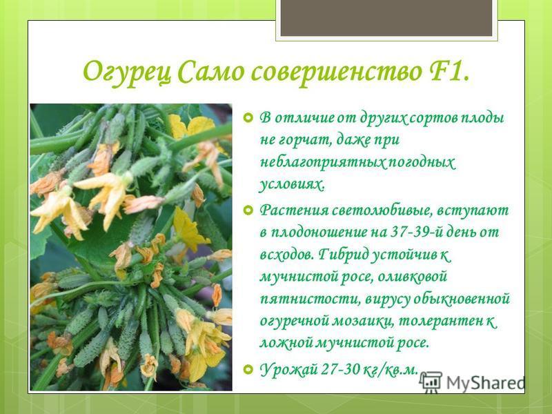 Огурец Само совершенство F1. В отличие от других сортов плоды не горчат, даже при неблагоприятных погодных условиях. Растения светолюбивые, вступают в плодоношение на 37-39-й день от всходов. Гибрид устойчив к мучнистой росе, оливковой пятнистости, в