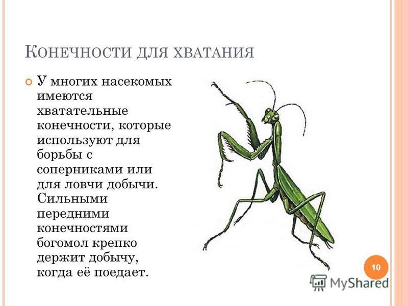К ОНЕЧНОСТИ ДЛЯ ХВАТАНИЯ 10 У многих насекомых имеются хватательные конечности, которые используют для борьбы с соперниками или для ловчи добычи. Сильными передними конечностями богомол крепко держит добычу, когда её поедает.
