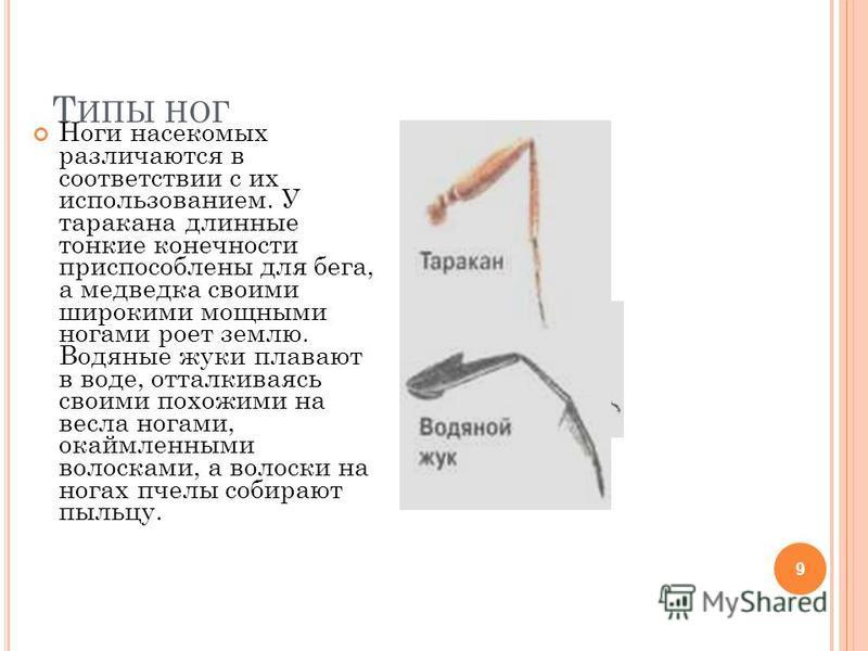Т ИПЫ НОГ 9 Ноги насекомых различаются в соответствии с их использованием. У таракана длинные тонкие конечности приспособлены для бега, а медведка своими широкими мощными ногами роет землю. Водяные жуки плавают в воде, отталкиваясь своими похожими на