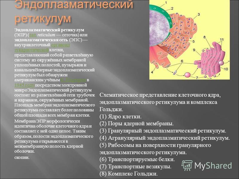 Эндоплазматический ретикулум Эндоплазматический ретикулум ( ЭПР ) ( лат. reticulum сеточка ) или эндоплазматическая сеть ( ЭПС ) внутриклеточный органоид эукариотической клетки, представляющий собой разветвлённую систему из окружённых мембраной уплощ