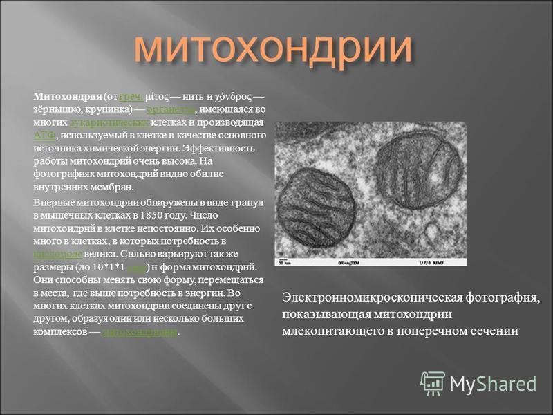 митохондрии Митохондрия ( от греч. μίτος нить и χόνδρος зёрнышко, крупинка ) органелла, имеющаяся во многих эукариотических клетках и производящая АТФ, используемый в клетке в качестве основного источника химической энергии. Эффективность работы мито