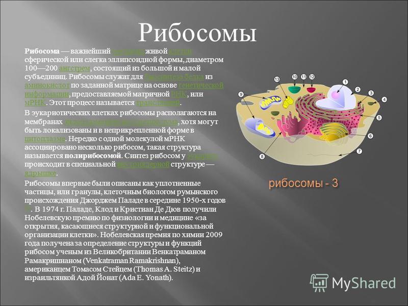 рибосомы - 3 Рибосома важнейший органоид живой клетки сферической или слегка эллипсоидной формы, диаметром 100200 ангстрем, состоящий из большой и малой субъединиц. Рибосомы служат для биосинтеза белка из аминокислот по заданной матрице на основе ген