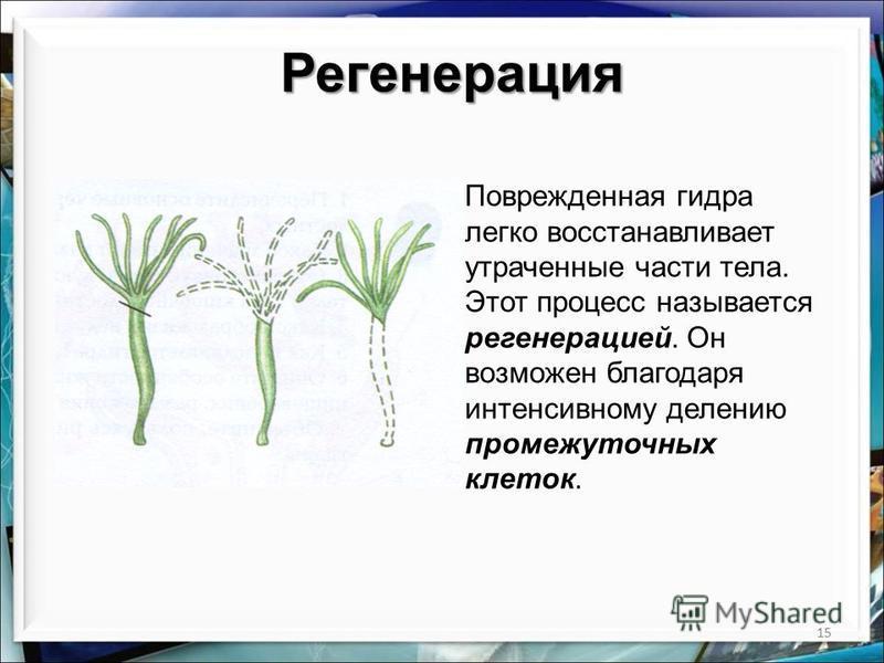 15 Регенерация Поврежденная гидра легко восстанавливает утраченные части тела. Этот процесс называется регенерацией. Он возможен благодаря интенсивному делению промежуточных клеток.