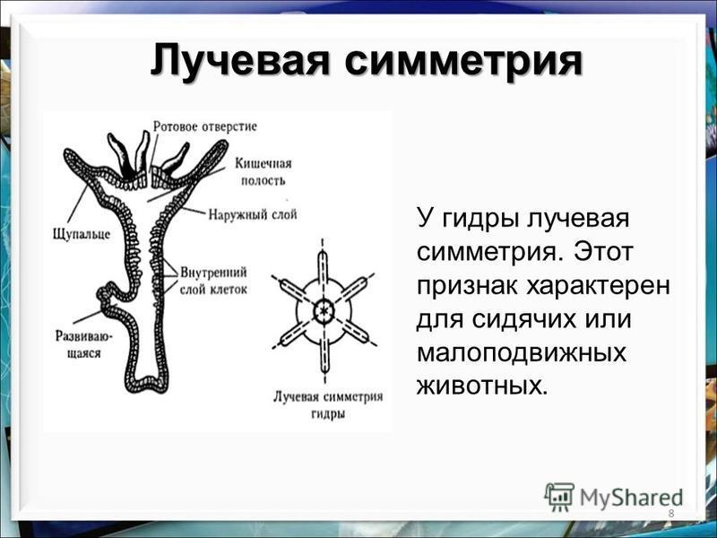 8 Лучевая симметрия У гидры лучевая симметрия. Этот признак характерен для сидячих или малоподвижных животных.