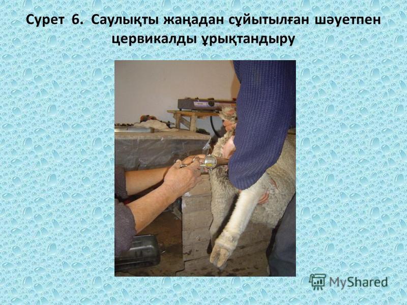 Сурет 6. Саулықты жаңадан сұйытылған шәуетпен цервикалды ұрықтандыру