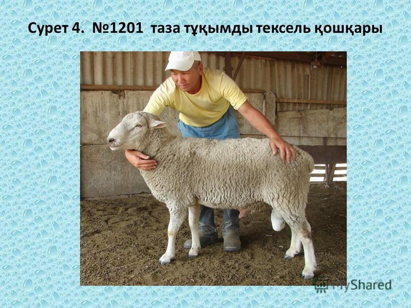Сурет 4. 1201 таза тұқымды текстиль қошқары