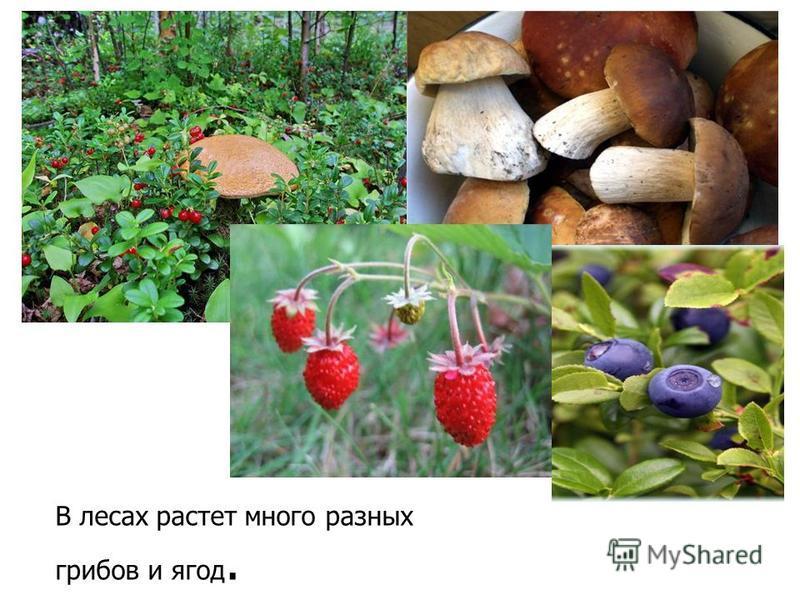 В лесах растет много разных грибов и ягод.