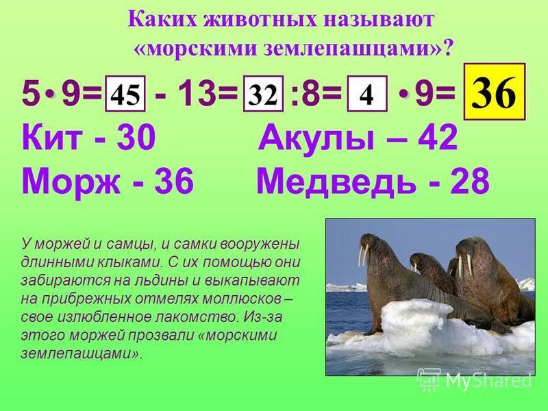 Каких животных называют «морскими землепашцами»? 5 9= - 13= :8= 9= Кит - 30 Акулы – 42 Морж - 36 Медведь - 28 45324 36 У моржей и самцы, и самки вооружены длинными клыками. С их помощью они забираются на льдины и выкапывают на прибрежных отмелях молл
