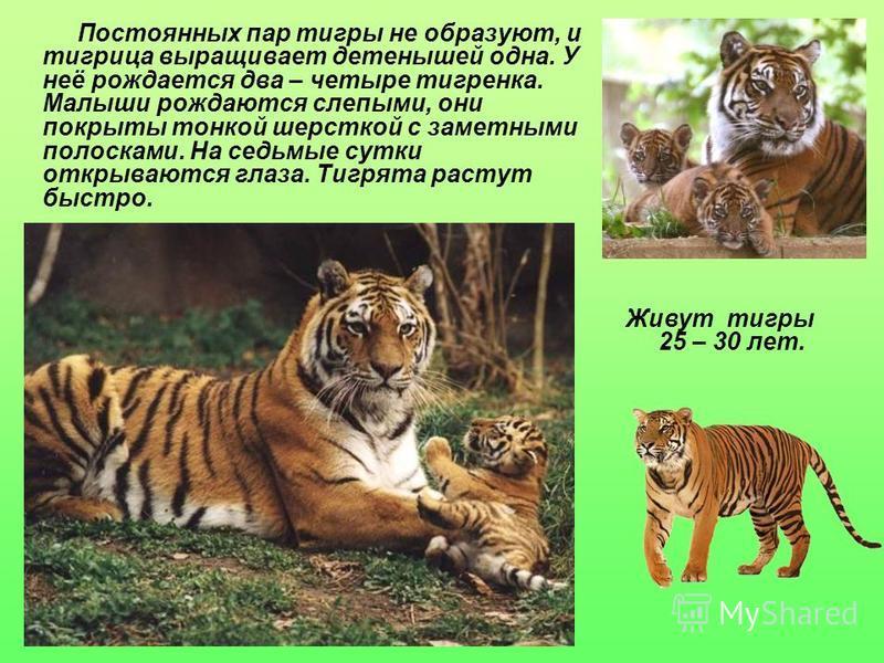 Живут тигры 25 – 30 лет. Постоянных пар тигры не образуют, и тигрица выращивает детенышей одна. У неё рождается два – четыре тигренка. Малыши рождаются слепыми, они покрыты тонкой шерсткой с заметными полосками. На седьмые сутки открываются глаза. Ти