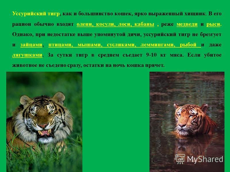 Уссурийский тигр, как и большинство кошек, ярко выраженный хищник. В его рацион обычно входят олени, косули, лоси, кабаны, реже медведи и рыси. Однако, при недостатке выше упомянутой дичи, уссурийский тигр не брезгует и зайцами, птицами, мышами, сусл