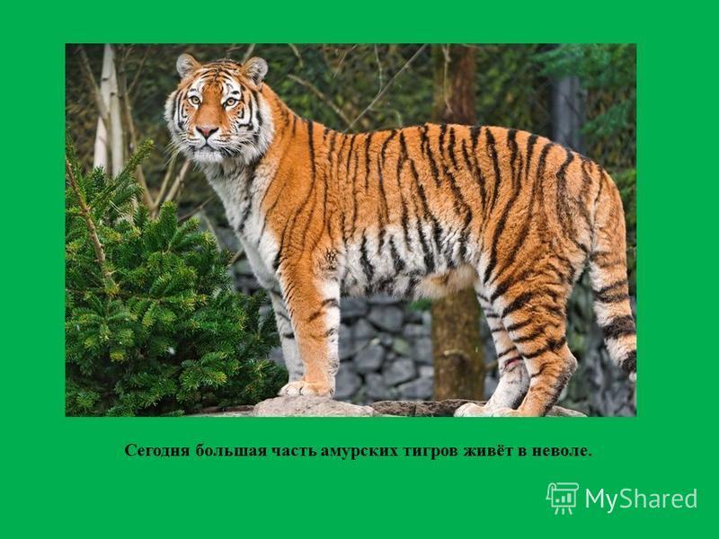 Сегодня большая часть амурских тигров живёт в неволе.