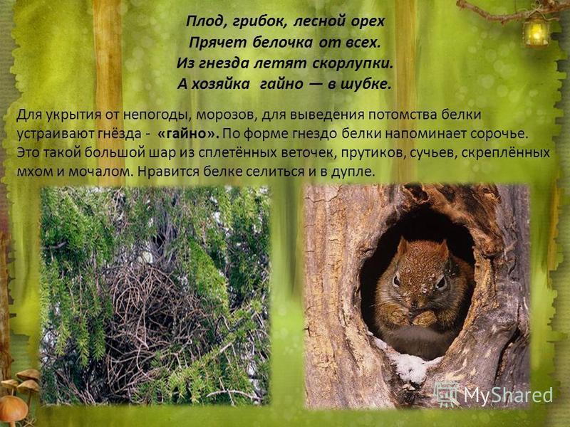 Плод, грибок, лесной орех Прячет белочка от всех. Из гнезда летят скорлупки. А хозяйка гайно в шубке. Для укрытия от непогоды, морозов, для выведения потомства белки устраивают гнёзда - «гайно». По форме гнездо белки напоминает сорочье. Это такой бол