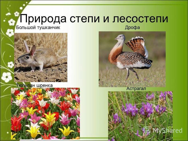 Природа степи и лесостепи Большой тушканчик Дрофа Тюльпан шренка Астрагал