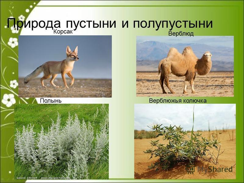 Природа пустыни и полупустыни Полынь Верблюжья колючка Корсак Верблюд