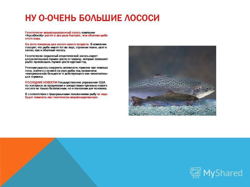 Генетически модифицированный лосось компании «AquaBounty» растет в два раза быстрее, чем обычная рыба этого вида. На фото показаны два лосося одного возраста. В компании говорят, что рыба имеет тот же вкус, строение ткани, цвет и запах, как и обычный