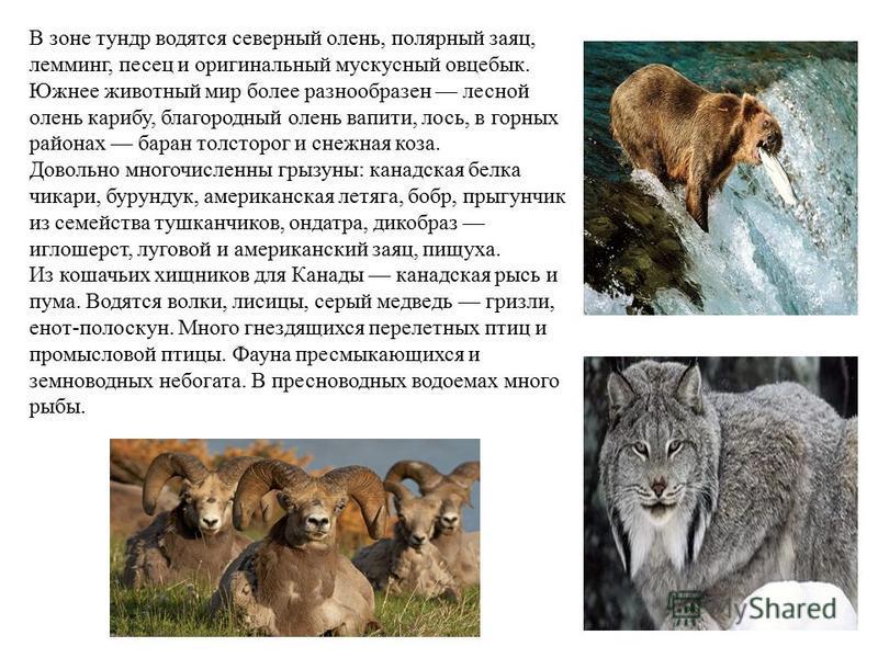 В зоне тундр водятся северный олень, полярный заяц, лемминг, песец и оригинальный мускусный овцебык. Южнее животный мир более разнообразен лесной олень карибу, благородный олень вапити, лось, в горных районах баран толсторог и снежная коза. Довольно