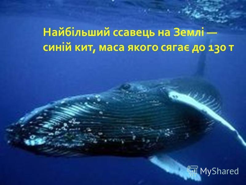 Найбільший ссавець на Землі синій кит, маса якого сягає до 130 т