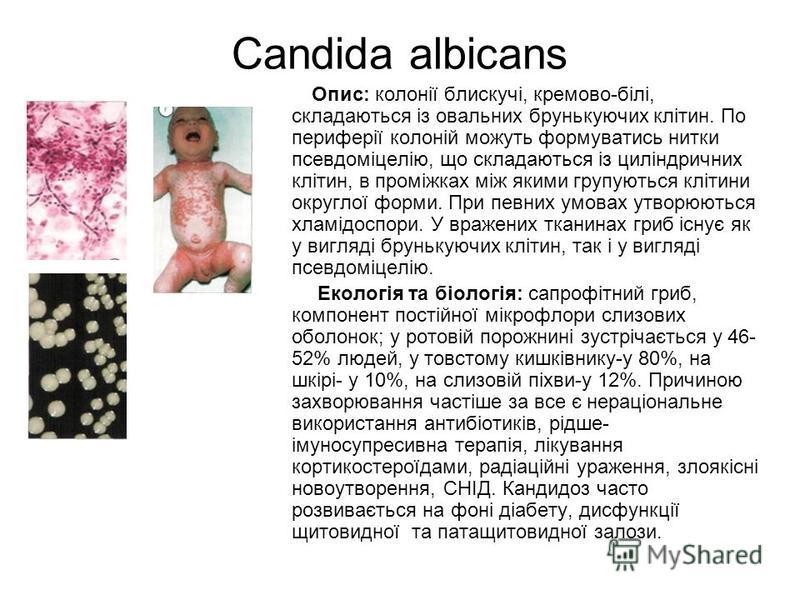 Candida albicans Опис: колонії блискучі, кремово-білі, складаються із овальних брунькуючих клітин. По периферії колоній можуть формуватись нитки псевдоміцелію, що складаються із циліндричних клітин, в проміжках між якими групуються клітини округлої ф