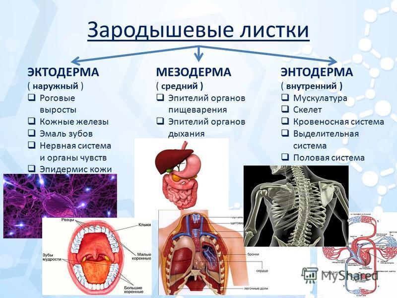 Зародышевые листки ЭКТОДЕРМА ( наружный ) Роговые выросты Кожные железы Эмаль зубов Нервная система и органы чувств Эпидермис кожи МЕЗОДЕРМА ( средний ) Эпителий органов пищеварения Эпителий органов дыхания ЭНТОДЕРМА ( внутренний ) Мускулатура Скелет