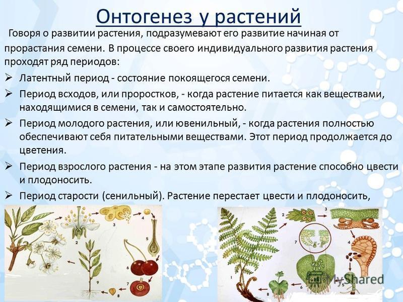 Онтогенез у растений Говоря о развитии растения, подразумевают его развитие начиная от прорастания семени. В процессе своего индивидуального развития растения проходят ряд периодов: Латентный период - состояние покоящегося семени. Период всходов, или