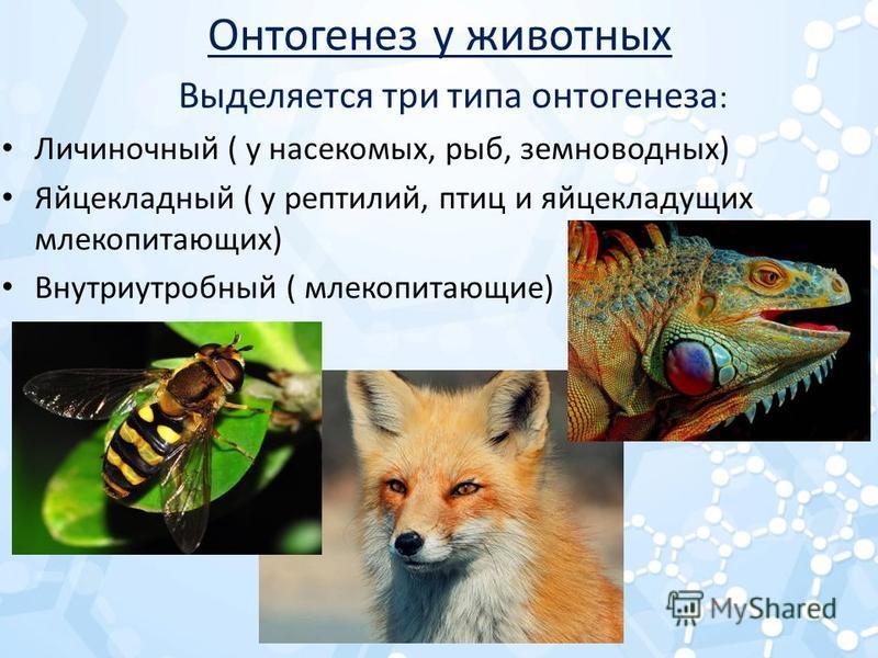 Онтогенез у животных Личиночный ( у насекомых, рыб, земноводных) Яйцекладный ( у рептилий, птиц и яйцекладущих млекопитающих) Внутриутробный ( млекопитающие) Выделяется три типа онтогенеза :