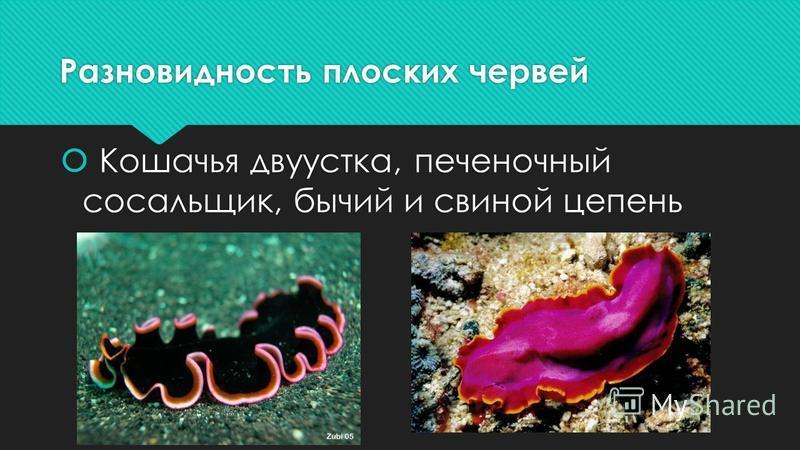 Разновидность плоских червей Кошачья двуустка, печеночный сосальщик, бычий и свиной цепень