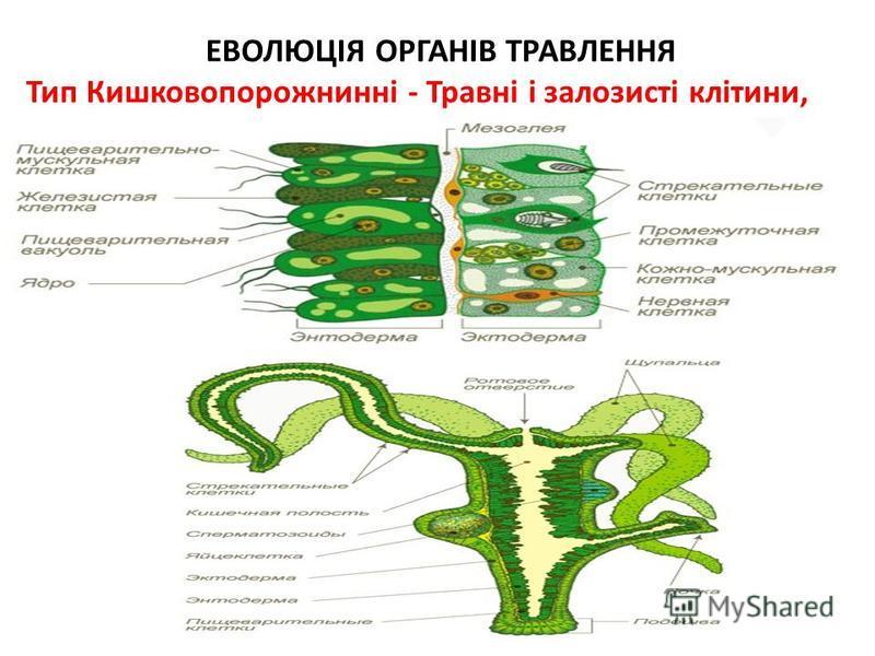 ЕВОЛЮЦІЯ ОРГАНІВ ТРАВЛЕННЯ Тип Кишковопорожнинні - Травні і залозисті клітини, кишкова порожнина.