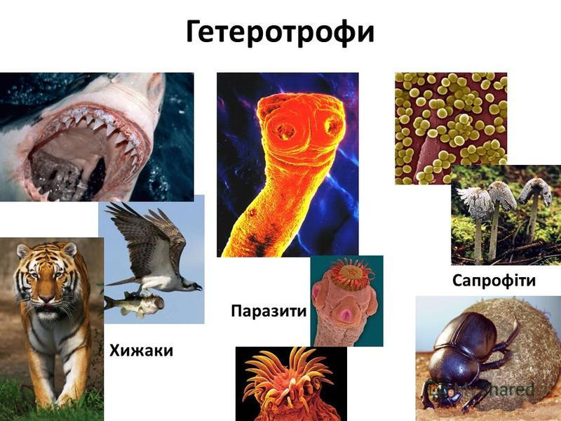 Гетеротрофи Паразити Сапрофіти Хижаки