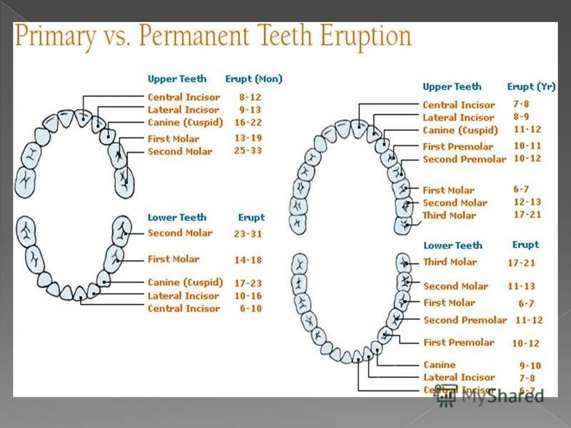 tooth anatomy is a colloquial term sometimes 6 there are several types of human teeth the first set of teeth that develops in young children is temporary also known as milk teeth ccuart Image collections