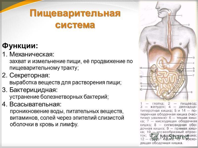 Пищеварительная система Функции: 1.Механическая: захват и измельчение пищи, её продвижение по пищеварительному тракту; 2.Секреторная: выработка веществ для растворения пищи; 3.Бактерицидная: устранение болезнетворных бактерий; 4.Всасывательная: прони