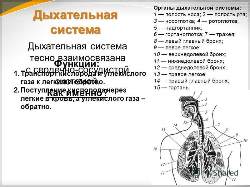 Дыхательная система Функции: 1. Транспорт кислорода и углекислого газа к легким и обратно. 2. Поступление кислорода через легкие в кровь, а углекислого газа – обратно. Органы дыхательной системы: 1 полость носа; 2 полость рта; 3 носоглотка; 4 ротогло