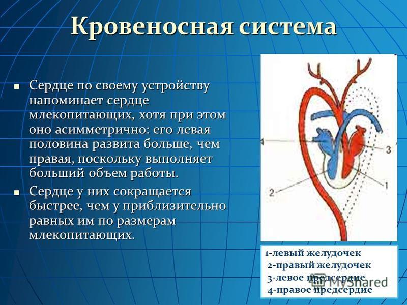 Кровеносная система Сердце по своему устройству напоминает сердце млекопитающих, хотя при этом оно асимметрично: его левая половина развита больше, чем правая, поскольку выполняет больший объем работы. Сердце по своему устройству напоминает сердце мл