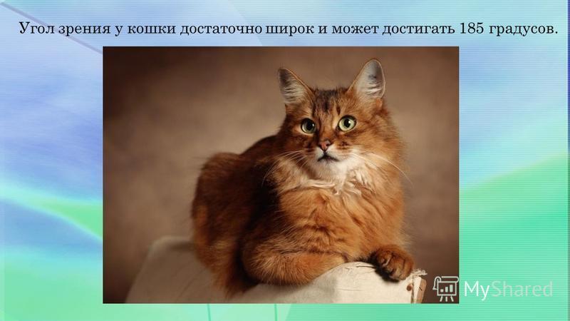 Угол зрения у кошки достаточно широк и может достигать 185 градусов.