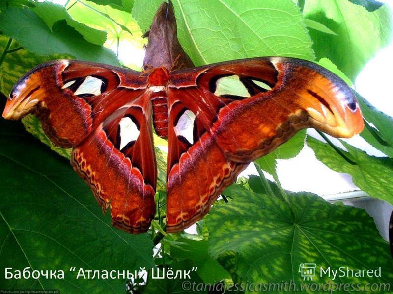 Бабочка Атласный Шёлк