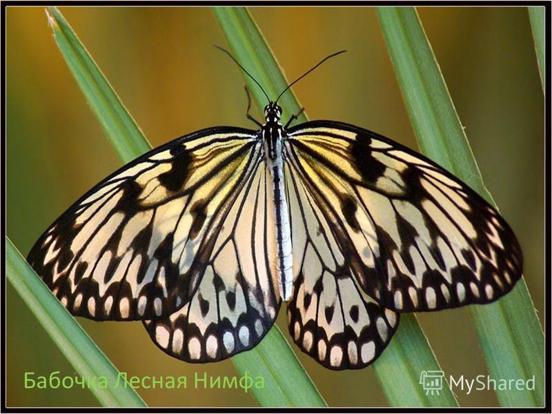 Бабочка Лесная Нимфа