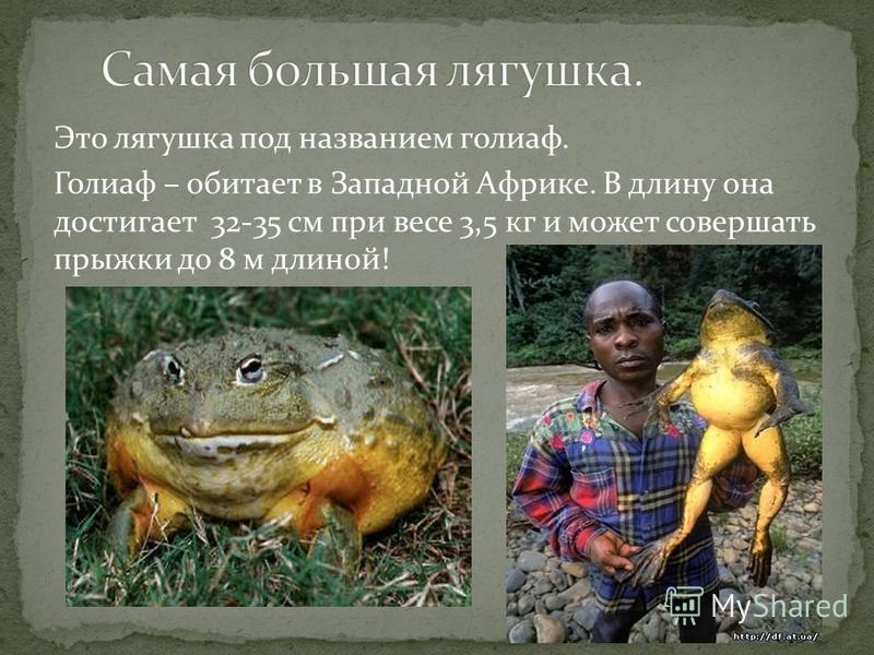 Это лягушка под названием голиаф. Голиаф – обитает в Западной Африке. В длину она достигает 32-35 см при весе 3,5 кг и может совершать прыжки до 8 м длиной!