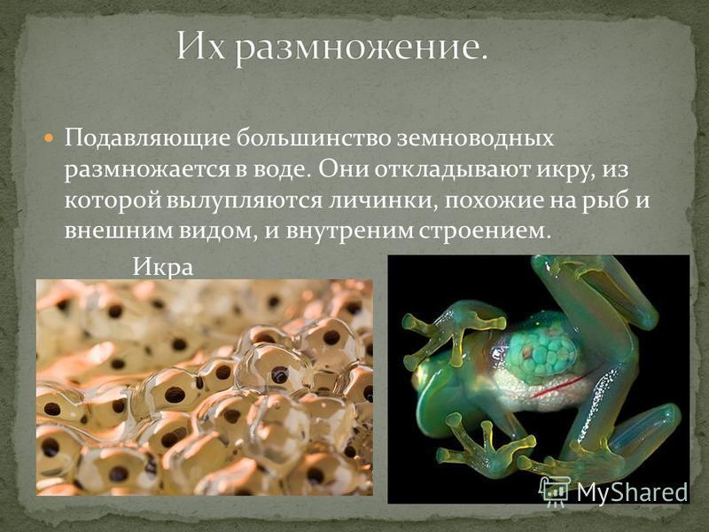 Подавляющие большинство земноводных размножается в воде. Они откладывают икру, из которой вылупляются личинки, похожие на рыб и внешним видом, и внутренним строением. Икра