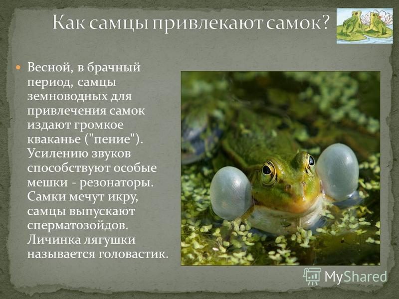 Весной, в брачный период, самцы земноводных для привлечения самок издают громкое кваканье (пение). Усилению звуков способствуют особые мешки - резонаторы. Самки мечут икру, самцы выпускают сперматозоидов. Личинка лягушки называется головастик.