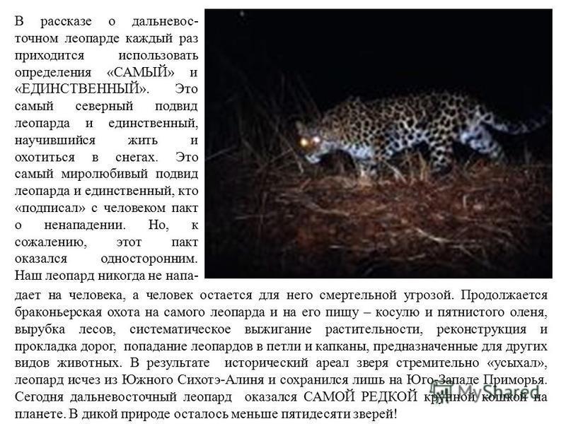 В рассказе о дальневосточном леопарде каждый раз приходится использовать определения «САМЫЙ» и «ЕДИНСТВЕННЫЙ». Это самый северный подвид леопарда и единственный, научившийся жить и охотиться в снегах. Это самый миролюбивый подвид леопарда и единствен