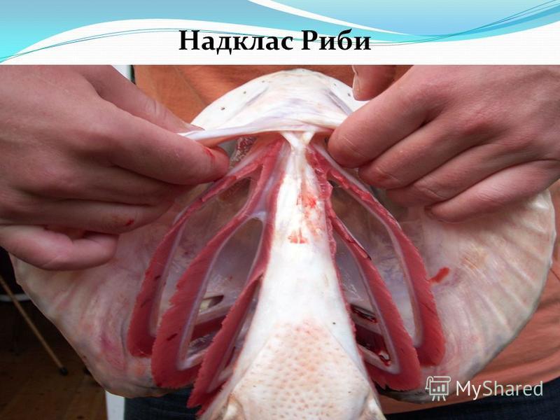 Надклас Риби