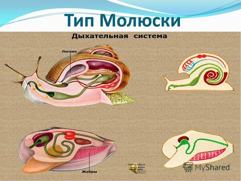 Тип Молюски